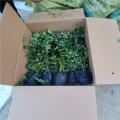 藍莓苗銷售、山東自由藍莓苗基地