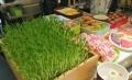 芽苗菜是萬元投資的項目,1人操作即可完成