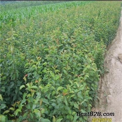 圆黄梨苗、皇冠梨苗附件收割机玉米前台图片