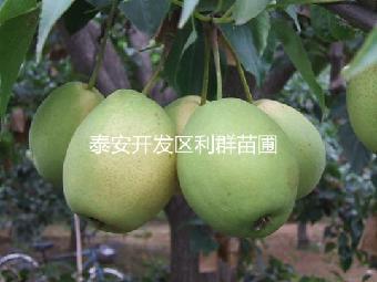 梨树苗 黄金梨树苗 水晶梨树苗