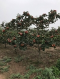 占地山楂樹價格,8公分10公分山楂樹