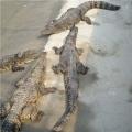 小鳄鱼苗适应的水温环境是多少