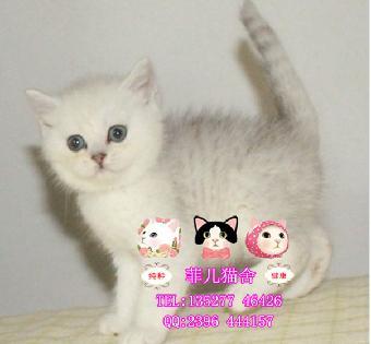 英国短毛猫银色渐英菲儿猫舍的英短猫咪超可爱 上门选