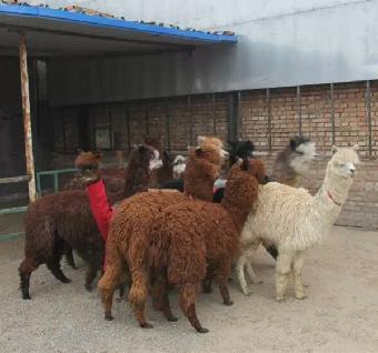 上海动物展览,租赁羊驼