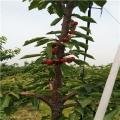 桃熏草莓苗批发价格桃熏草莓苗哪里便宜