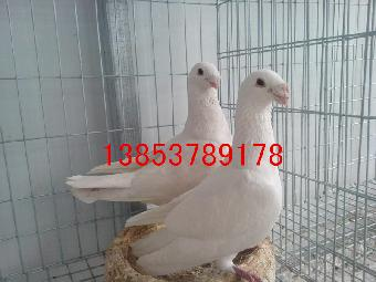 头型鸽出售几种宏博观赏鸽v头型分为品种鸽一家黄磊头型婚纱照图片