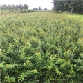 大青皮石榴苗、大青皮石榴苗新品種