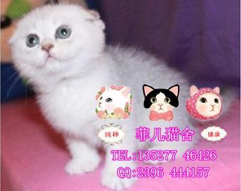 纯种宠物猫猫 可爱折耳猫苏格兰折耳猫超级甜美