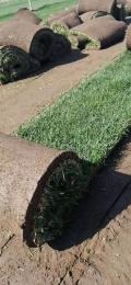 遼寧草坪綠籬花灌木