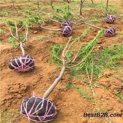 哪里有玛瑙红樱桃苗出售、玛瑙红樱桃苗哪里有卖的