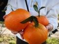 甘平柑橘苗培育基地 1-3年甘平果樹苗木新品種