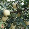 4公分蘋果樹苗優缺點