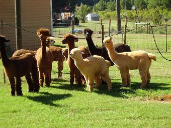 养殖动物(可以租赁)有:羊驼