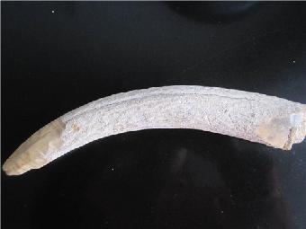 象牙 化石 公司 交易/关键字:象牙化石展览象牙化石征集象牙化石价格