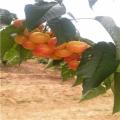 章姬草莓苗哪里有卖的章姬草莓苗哪里便宜