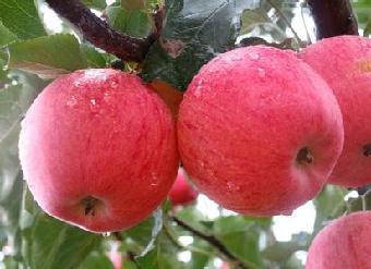 9,信浓甜苹果树苗:又名砂糖苹果,日本品种,成熟比红富士早1个月