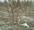 特早熟杏苗培育基地、特早熟杏苗生產苗圃