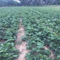 森嘎啦草莓苗、森嘎啦草莓苗營養價值高