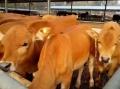 小黄牛多少钱一斤$小黄牛的价钱