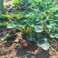 專業培育天使之實草莓苗成活率高