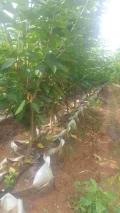 了解黃蜜櫻桃苗、黃蜜櫻桃苗畝產