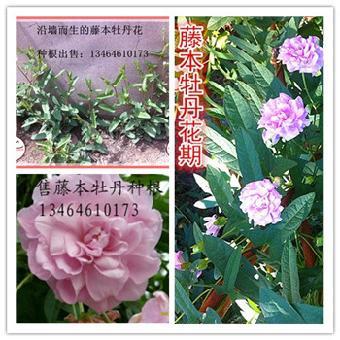 缠枝牡丹藤本牡丹花苗出售藤本花卉新品种
