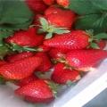 露天草莓苗、露天草莓苗價格親民