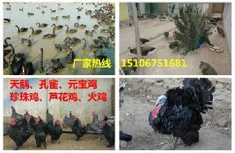 中国 观赏鸽/关键字:中国观赏鸽品种大全