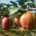 早酥红梨树苗,一年生早酥红梨树苗,早酥红梨树苗2019年报价