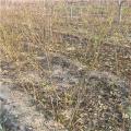 2公分石榴苗、山东2公分石榴苗、2公分石榴苗价格多少