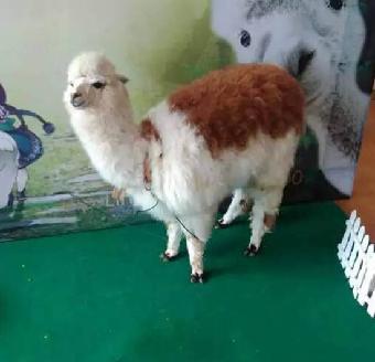 藁城市-羊驼租赁.动物表演