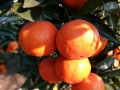 重慶種植世紀紅柑橘苗 晚熟皮紅抗病強首選世紀紅