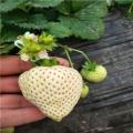 新?#20998;?#29233;娘草莓苗价格、爱娘草莓苗多少钱一棵