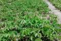 直銷爬山虎各種規格苗種植說明
