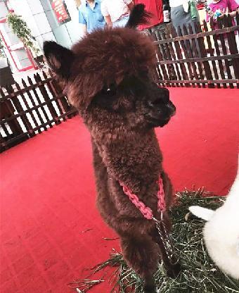 马戏团动物表演-草泥马图片温州