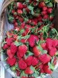 豐盛紅花草莓苗批發、今年豐盛紅花草莓苗批發價格