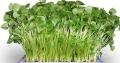 種植芽苗菜的時候遇到病害有哪些應對措施