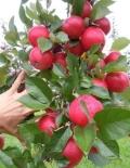 2019年华珍苹果苗多少钱一棵 华珍苹果苗哪里有