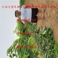 吉塞拉櫻桃樹苗種植技術、吉塞拉櫻桃樹苗多錢呢