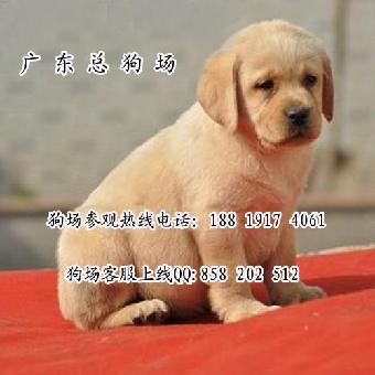 中山/中山拉布拉多犬价格多少中山哪里有卖纯种拉布拉多幼犬价格