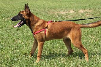广州哪有马犬v基地基地纯种小马犬钱一只山西顺亿有限公司焊接设备图片