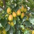 3公分梨树苗出售价格、3公分梨树苗批发基地