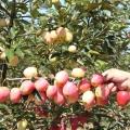 王林蘋果苗直銷、王林蘋果苗去哪買