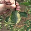 红喜梅树苗、红喜梅树苗种植基地