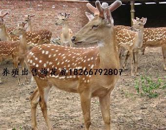 养鹿业在农村产业结构调整具有特殊经济地位,梅花鹿是世界珍贵野生