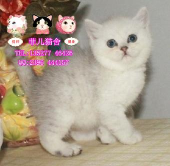 广州哪里有银渐层英短猫 纯种银英短猫可爱猫咪