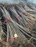 新品種拉賓斯櫻桃苗出售價