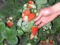 四季塞娃草莓苗供應 四季塞娃草莓苗多少錢一株