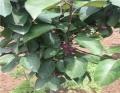 5公分蘋果樹苗產量