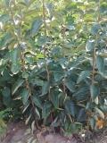 阳丰甜柿子苗 脆甜柿子苗基地 山西柿子苗基地